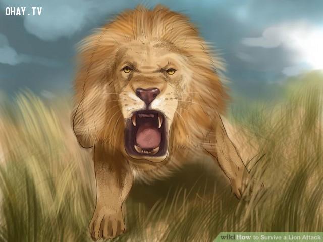 Hãy nhắm thẳng mặt. ,kỹ năng sinh tồn,đối phó với hổ,đối phó với sư tử