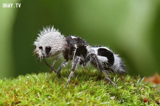Kiến gấu trúc (Panda Ant),loài vật kỳ lạ,động vật,quý hiềm,tuyệt chủng,thế giới động vật