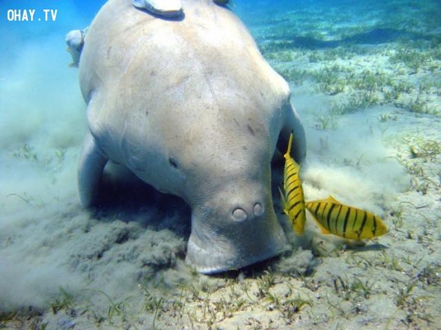 Cá cúi (Dugong),loài vật kỳ lạ,động vật,quý hiềm,tuyệt chủng,thế giới động vật