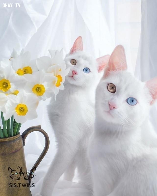 Bạn nghĩ mình đang nhìn thấy gấp đôi ? Hãy nghĩ lại ! Những chú mèo xinh đẹp này là chị em sinh đôi của cô gái tóc vàng từ Nga,thú cưng