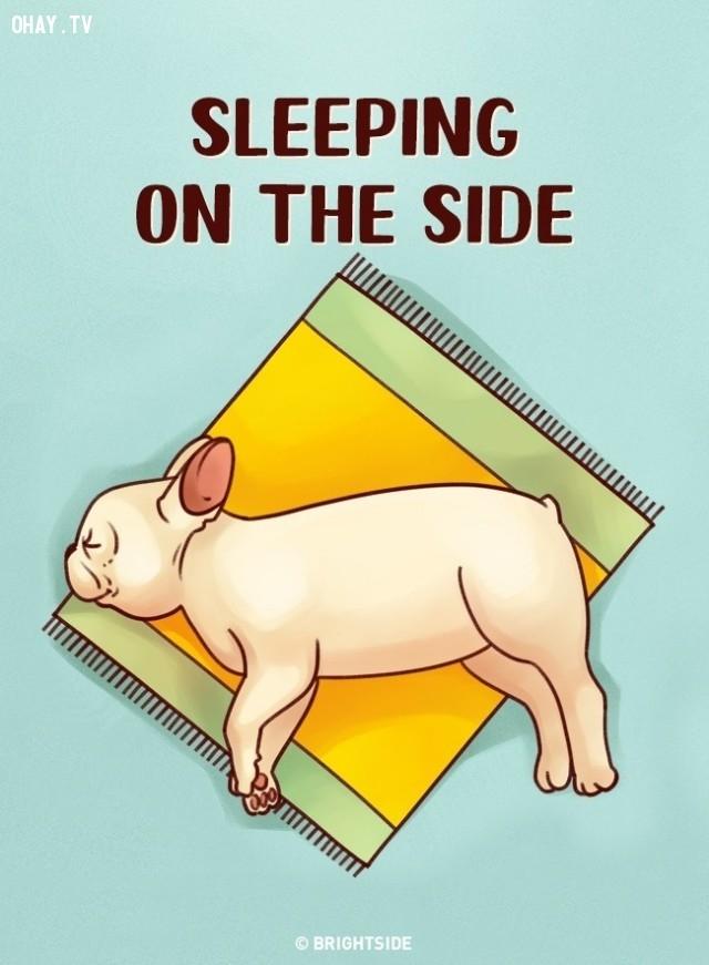 1. Nằm nghiêng một bên,tư thế ngủ,tính cách cún cưng,tính cách của loài chó,trắc nghiệm vui