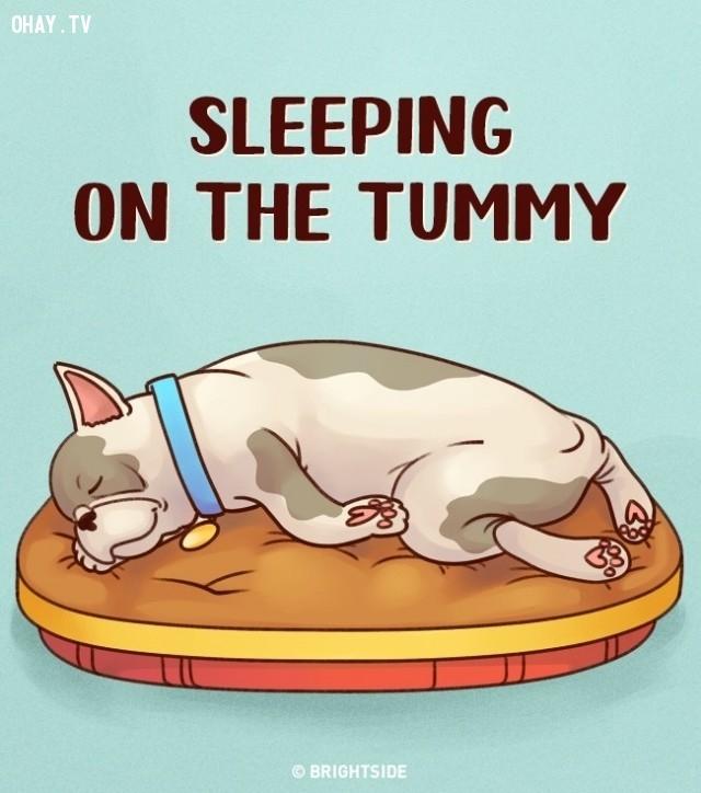 5. Nằm sấp co người - Nằm trên bụng,tư thế ngủ,tính cách cún cưng,tính cách của loài chó,trắc nghiệm vui
