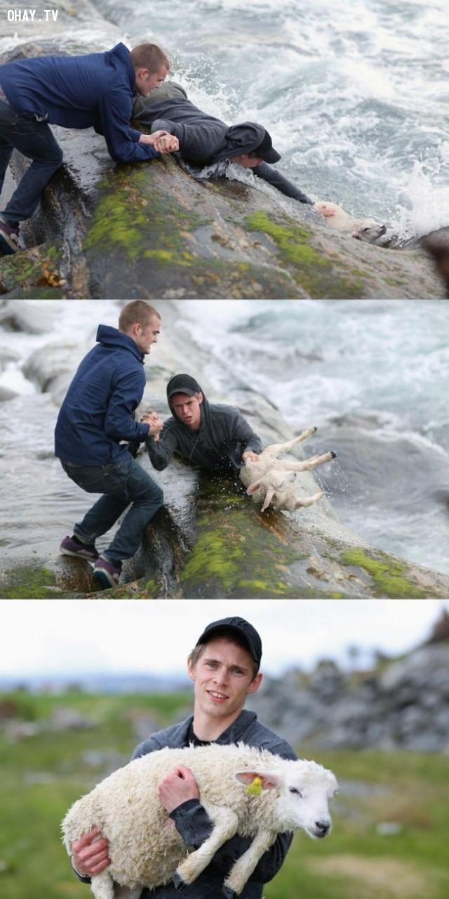 Hai chàng trai mạo hiểm cứu chú cừu bị rơi xuống dòng nước xoáy,hình ảnh đẹp,cử chỉ đẹp