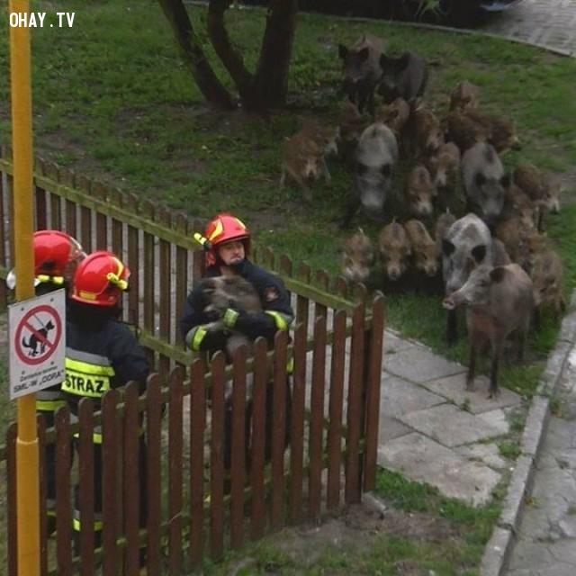Một con lợn lòi bị mắc kẹt ở hàng rào và gia đình nó đã vây quanh chờ chú được đội cứu hộ cứu thoát,hình ảnh đẹp,cử chỉ đẹp