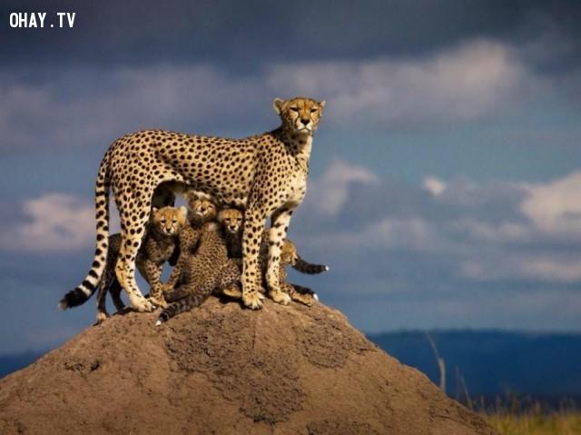 Báo mẹ và đàn con,khoảnh khắc ấn tượng
