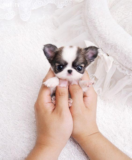 1. Em chỉ nhỏ bằng cái nắm tay thôi.,chó tí hon,chó tí nị,chó bé xíu,chó bé tí