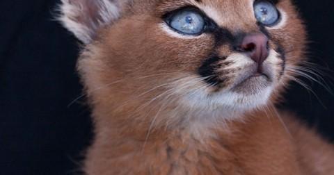 Có phải đây là loài mèo dễ thương nhất mọi thời đại?