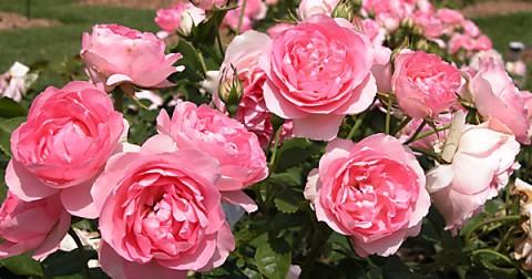 Cách trồng hoa hồng trong vườn nhà