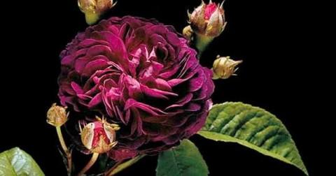 Vẻ đẹp quyến rũ của những loài hoa hồng lạ