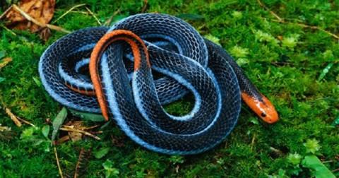 Nọc độc của loài rắn nguy hiểm nhất thế giới có thể làm thuốc giảm đau