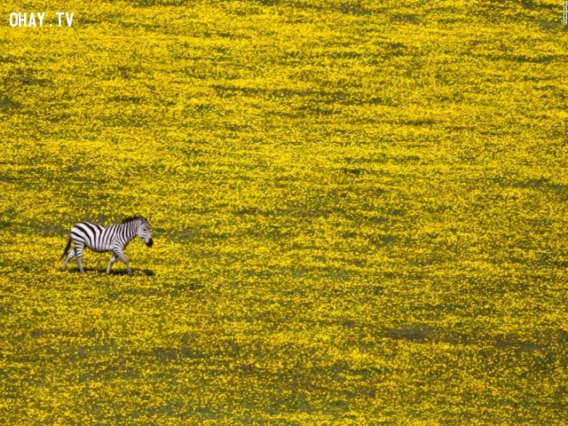 Ngựa vằn cô đơn – Nhiếp ảnh gia Yuval ofek ghi lại khoảnh khắc chú ngựa vằn đơn độc trên cánh đồng hoa màu vàng.,Cảnh đẹp thế giới