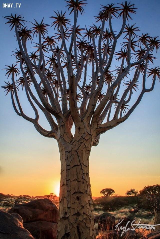 Một cây rung động, Namibia,thực vật,cây cối,loài cây lạ