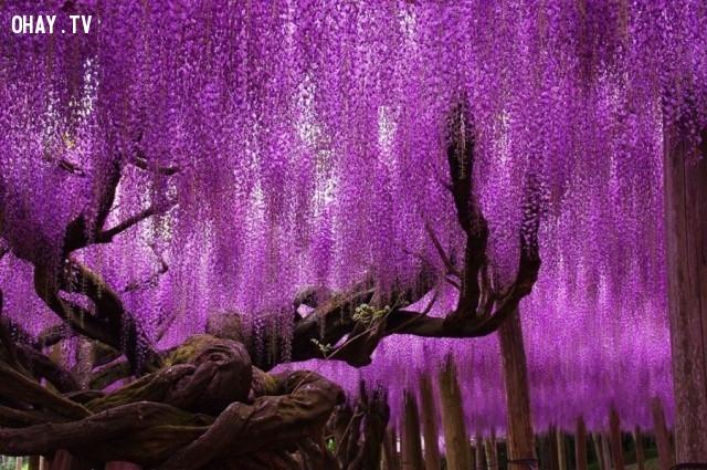Cây Wisteria, Nhật Bản,thực vật,cây cối,loài cây lạ