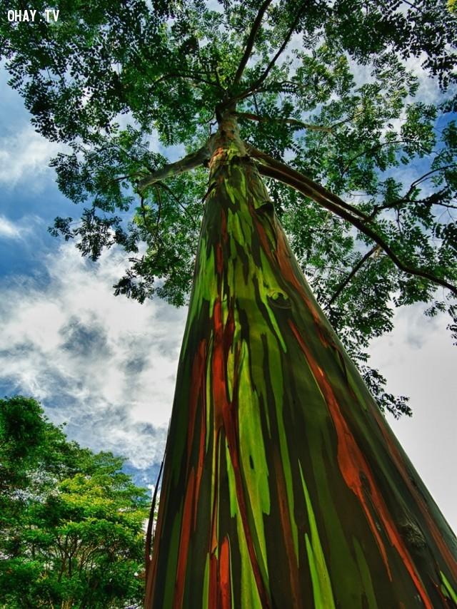 Cây bạch đàn cầu vồng , Hawaii,thực vật,cây cối,loài cây lạ