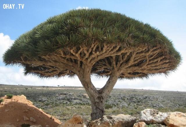 Cây máu rồng, đảo Socotra,thực vật,cây cối,loài cây lạ