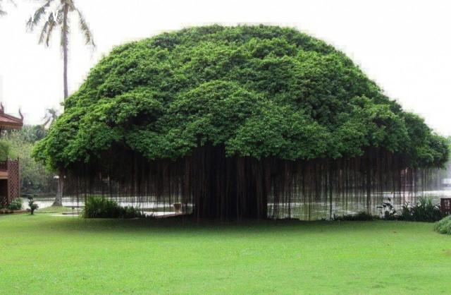 Cây Ficus, Philippines,thực vật,cây cối,loài cây lạ