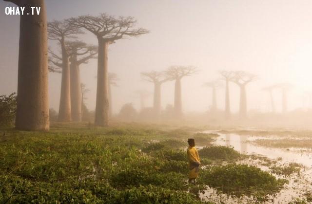Những cây cây cẩm qùi ở Madagascar,thực vật,cây cối,loài cây lạ