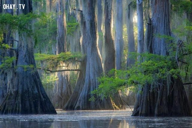 Cây bách, Hồ Caddo ,thực vật,cây cối,loài cây lạ