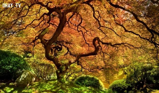 Một phong Nhật Bản,thực vật,cây cối,loài cây lạ