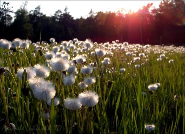 Cánh đồng hoa bồ công anh ở Đà Lạt,cánh đồng hoa