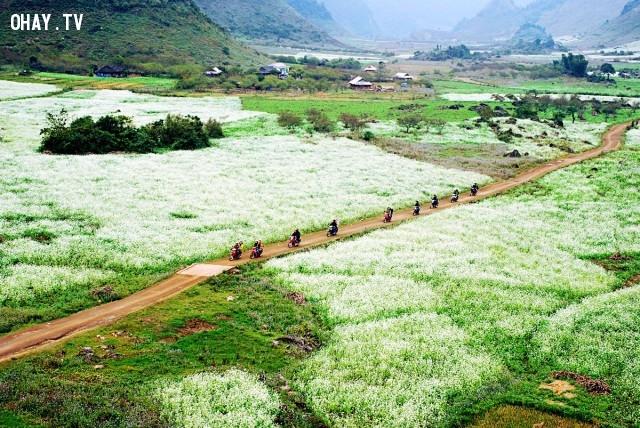 Cánh đồng hoa cải trắng ở Mộc Châu, Sơn La,cánh đồng hoa