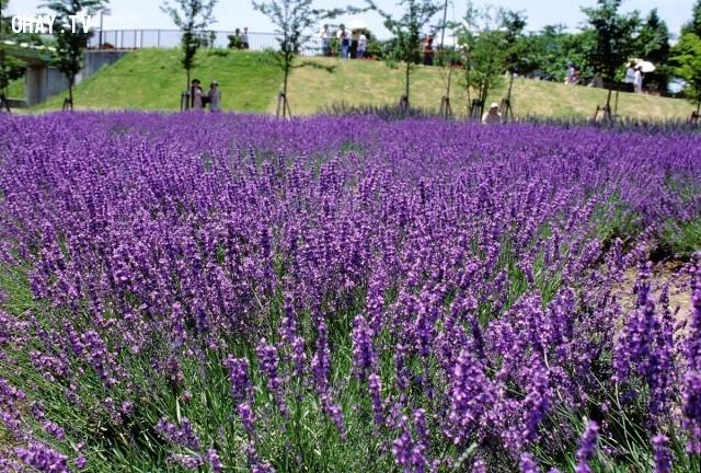 Cánh đồng hoa oải hương ở Đà Lạt,cánh đồng hoa
