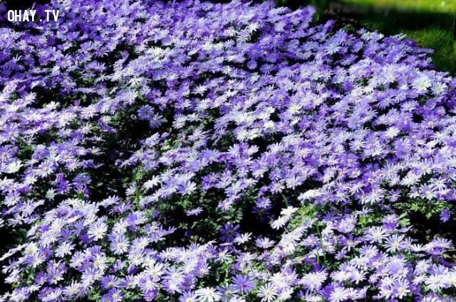 Cánh đồng hoa cúc thạch thảo ở Đà  Lạt,cánh đồng hoa