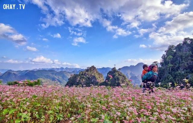 Cánh đồng hoa tam giác mạch ở Hà Giang,cánh đồng hoa