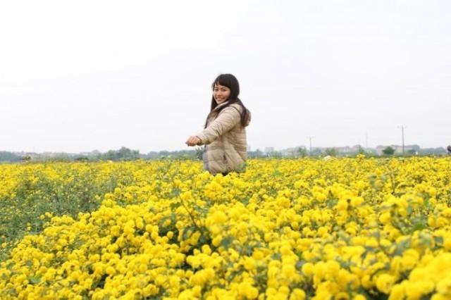 Cánh đồng hoa cúc vàng ở Hưng Yên,cánh đồng hoa