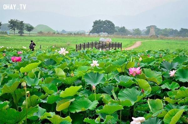 Cánh đồng hoa sen ở Đồng Tháp,cánh đồng hoa