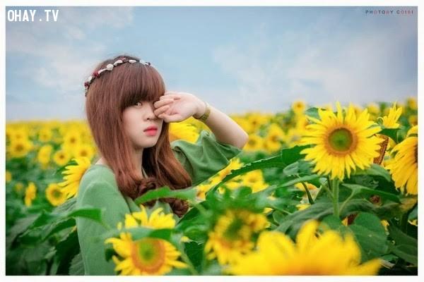 Cánh đồng hoa dướng dương ở Nghĩa Đàn, Nghệ An,cánh đồng hoa