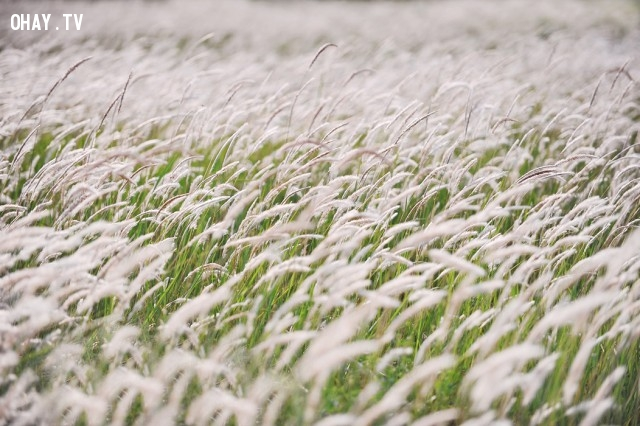 Cánh đồng cỏ lau ở Đà Nẵng,cánh đồng hoa