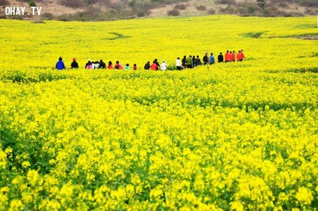 Cánh đồng hoa cải vàng ở Gia Lâm, Hà Nội,cánh đồng hoa
