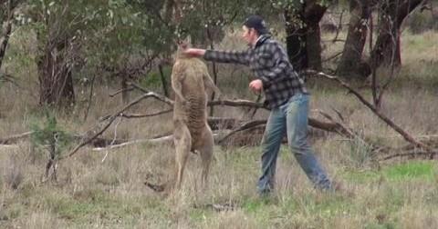 Tại sao người đàn ông này đấm vào mặt chú Kangaroo?