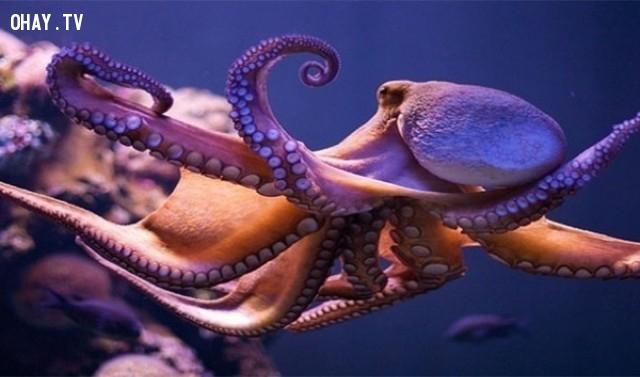 Loài bạch tuộc có ba trái tim,sự thực,facts,những điều thú vị trong cuộc sống