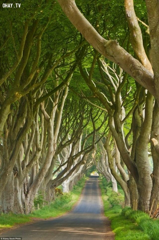 Đường Dark Hedges ở Antrim -  bắc Ireland,