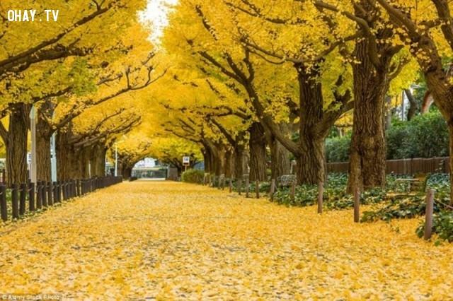 Đường cây rẻ quạt, Tokyo - Nhật Bản,