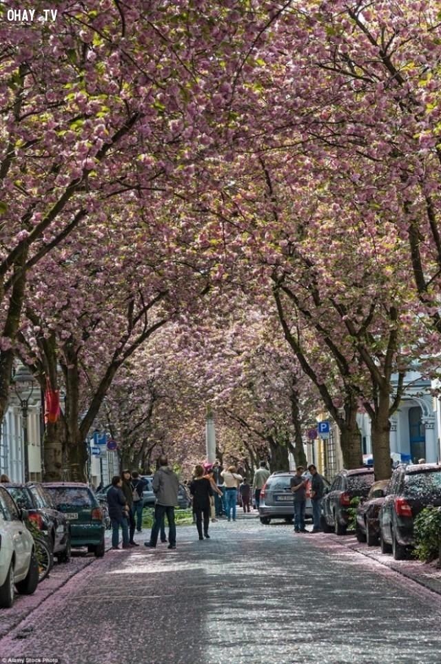 Đường cây anh đào, Bonn -  Đức,