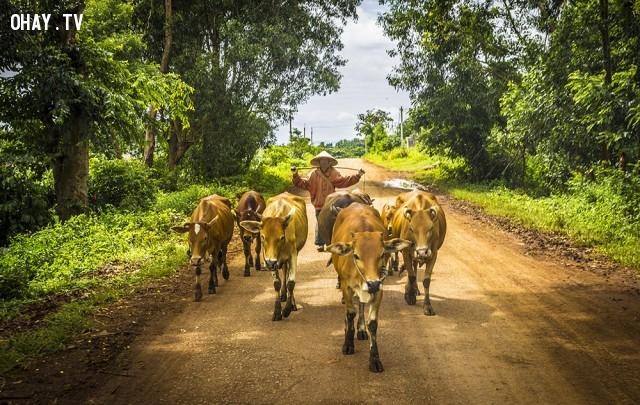 Chăn bò,ảnh đẹp,việt nam,nhiếp ảnh