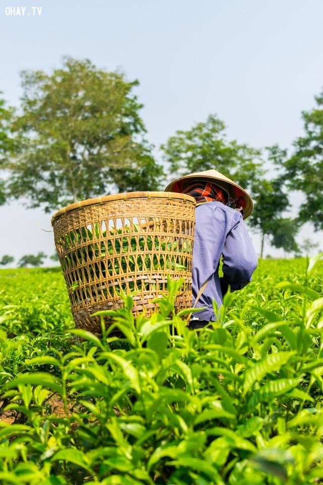 Người phụ nữ đội nón lá làm việc ở máy chè xanh tại Bảo Lộc, Lâm Đồng,ảnh đẹp,việt nam,nhiếp ảnh