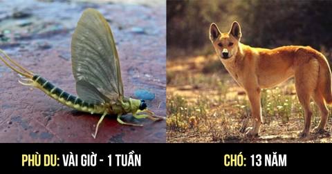Tuổi thọ trung bình của các loài vật khi sống ngoài tự nhiên - Phần 1.