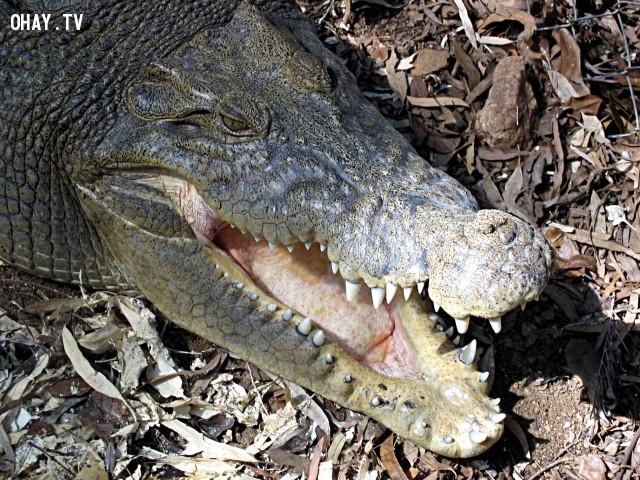 Cá sấu không thể nào lè lưỡi của chúng ra ngoài được.,sự thật thú vị,funfacts,những điều thú vị trong cuộc sống