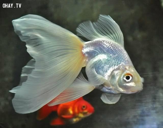 Nếu bạn đem một con cá vàng từ từ vào phòng tối thì màu của con cá sẽ chuyển sang màu trắng.,sự thật thú vị,funfacts,những điều thú vị trong cuộc sống