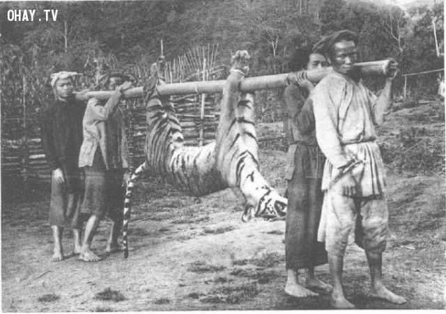 Săn cọp ở Nam kỳ đầu thế kỷ 20,Việt nam xưa,Việt Nam thế kỷ 18,Ảnh cổ Việt Nam
