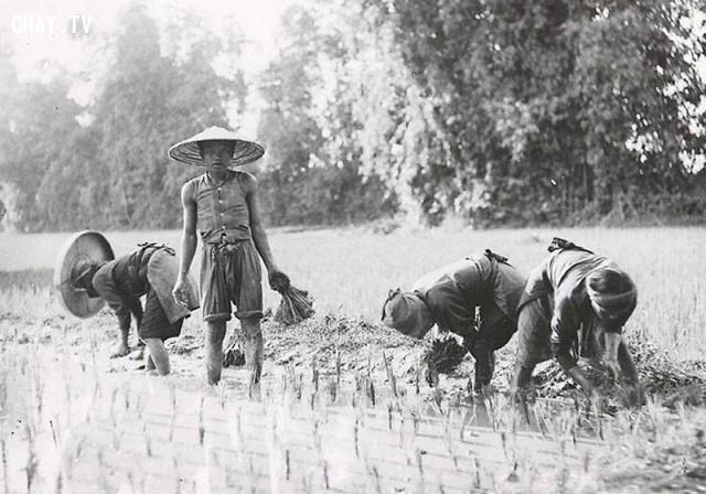 Cấy lúa ở Bắc kỳ cũng y chang như ở Nam kỳ đầu thế kỷ 20,Việt nam xưa,Việt Nam thế kỷ 18,Ảnh cổ Việt Nam