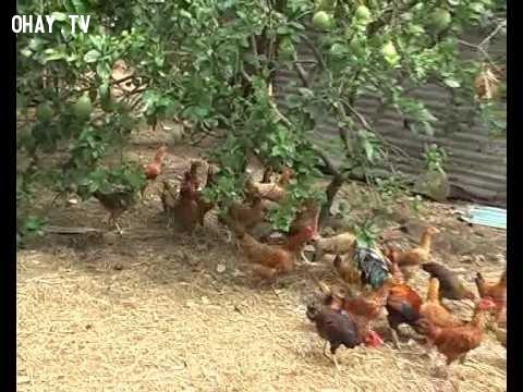 Gà vườn,Gà tre,gà vườn,du lịch quảng nam