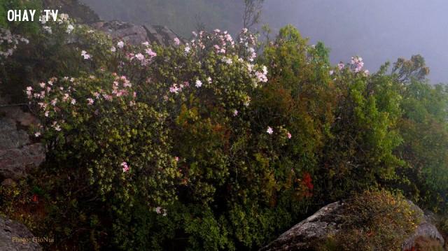 ,hoa đỗ quyên,đỉnh pha luông