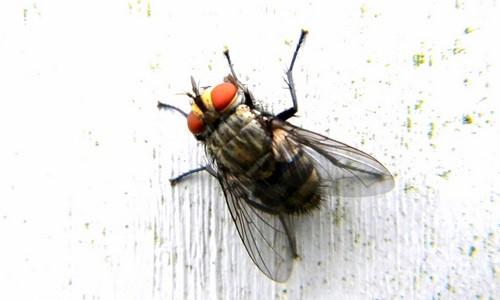Theo nghiên cứu ở ruồi thì...,cách đuổi ruồi,1001 câu hỏi vì sao,những điều thú vị trong cuộc sống