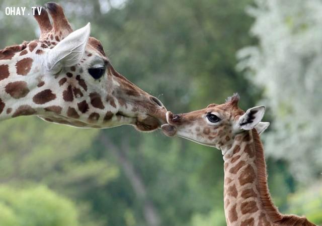 ,tình mẫu tử,động vật,dễ thương