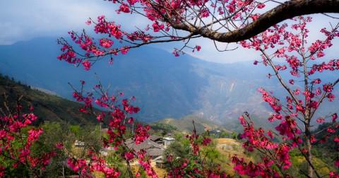 Rực rỡ sắc hoa Đào Chuông ở Tà Xùa